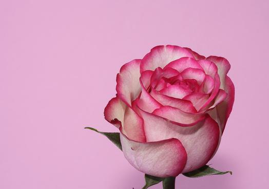 pink_rose_514085